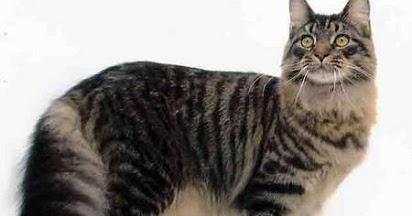 Harga Kucing Maine Coon Yang Cukup Tinggi Di Pasaran Indonesia