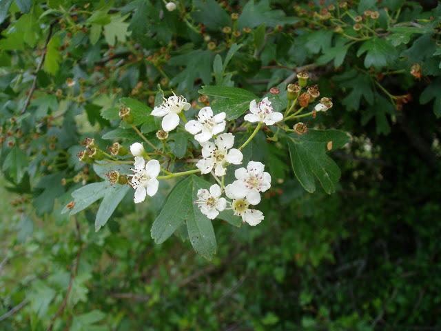 Flores del majuelo (Crataegus monogyna)