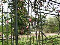 rosa rosedal montevideo uruguay