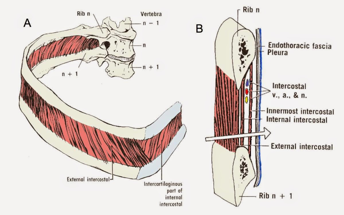 The Scope July 2014 English Drawing Shear Force And Bending Moment Diagrams Youtube Intercostal Muscles Between Ribs Are Arranged