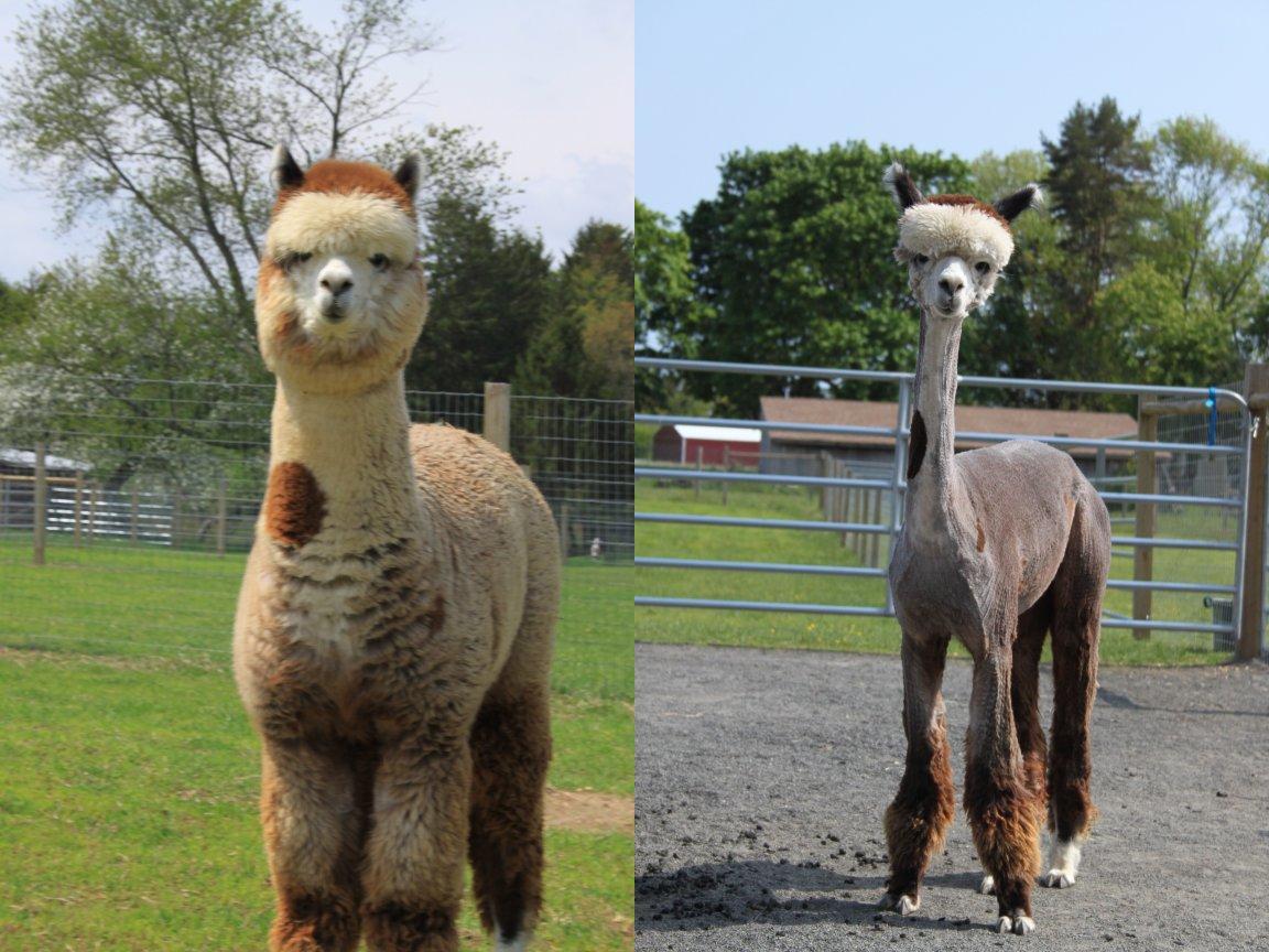 http://4.bp.blogspot.com/-gXurw_SvxCY/TdVmXTauJPI/AAAAAAAAFqE/qaRM_evJG_k/s1600/Sweet+alpaca%2521+But+why+is+Sarah+Jessica+Parker+standing+next+to+it+in+that+ridiculous+hat.jpg