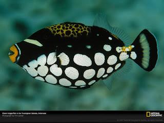ikan hias terindah : Clown Trigger Fish