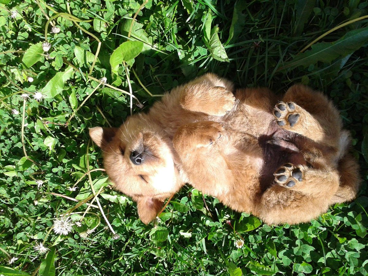 32 cute sleeping puppies (32 pics) | amazing creatures