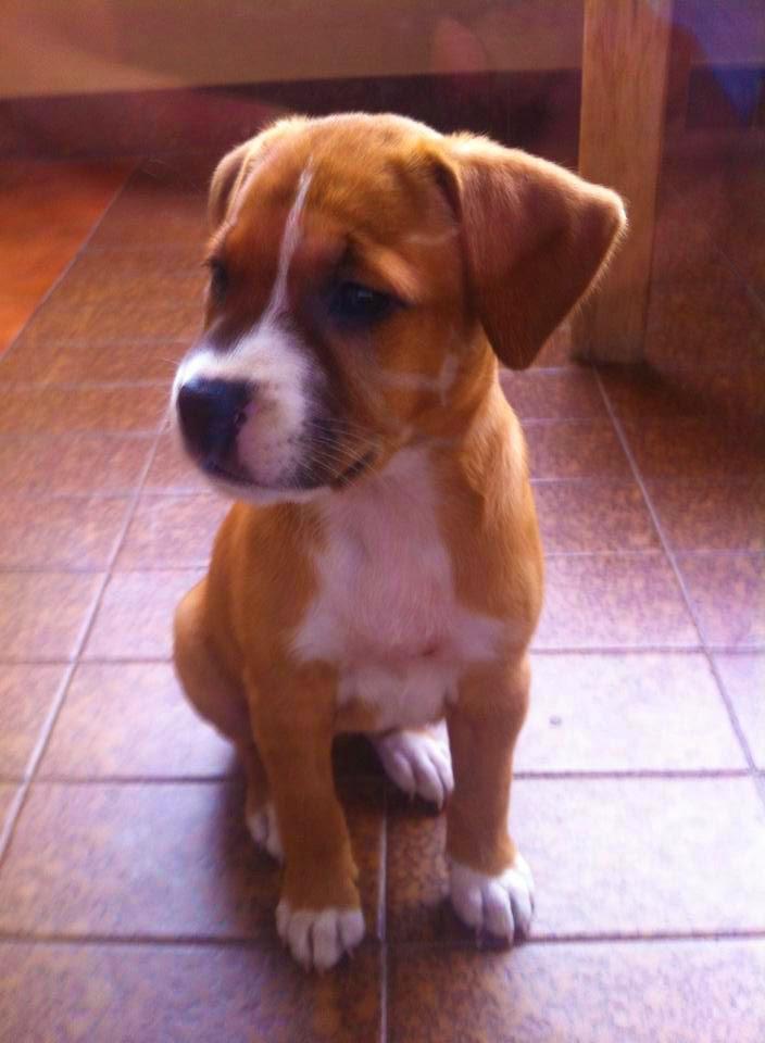 Boxer Labrador cachorro