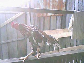 Ayam Bangkok Terbaik Indonesia,Best Bangkok Indonesian Chicken,