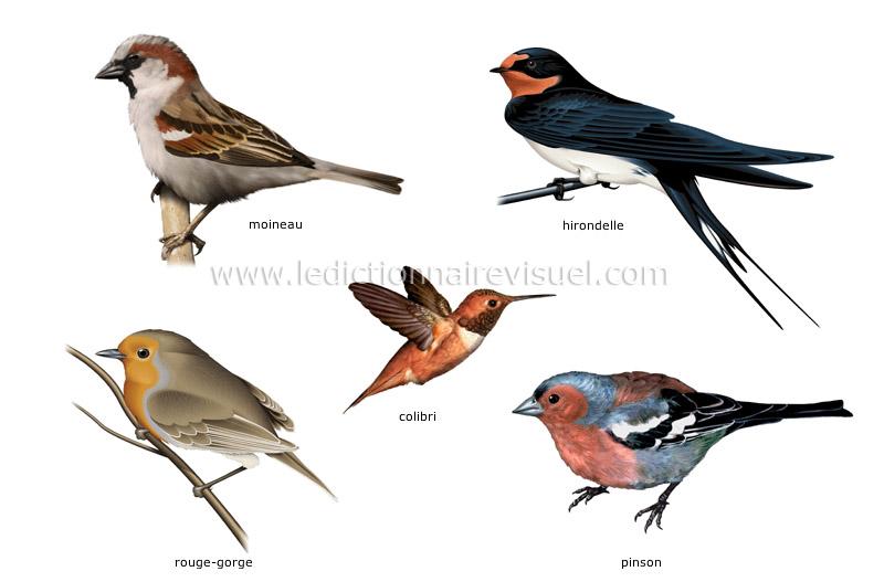 Animals oiseaux for Liste oiseaux des jardins