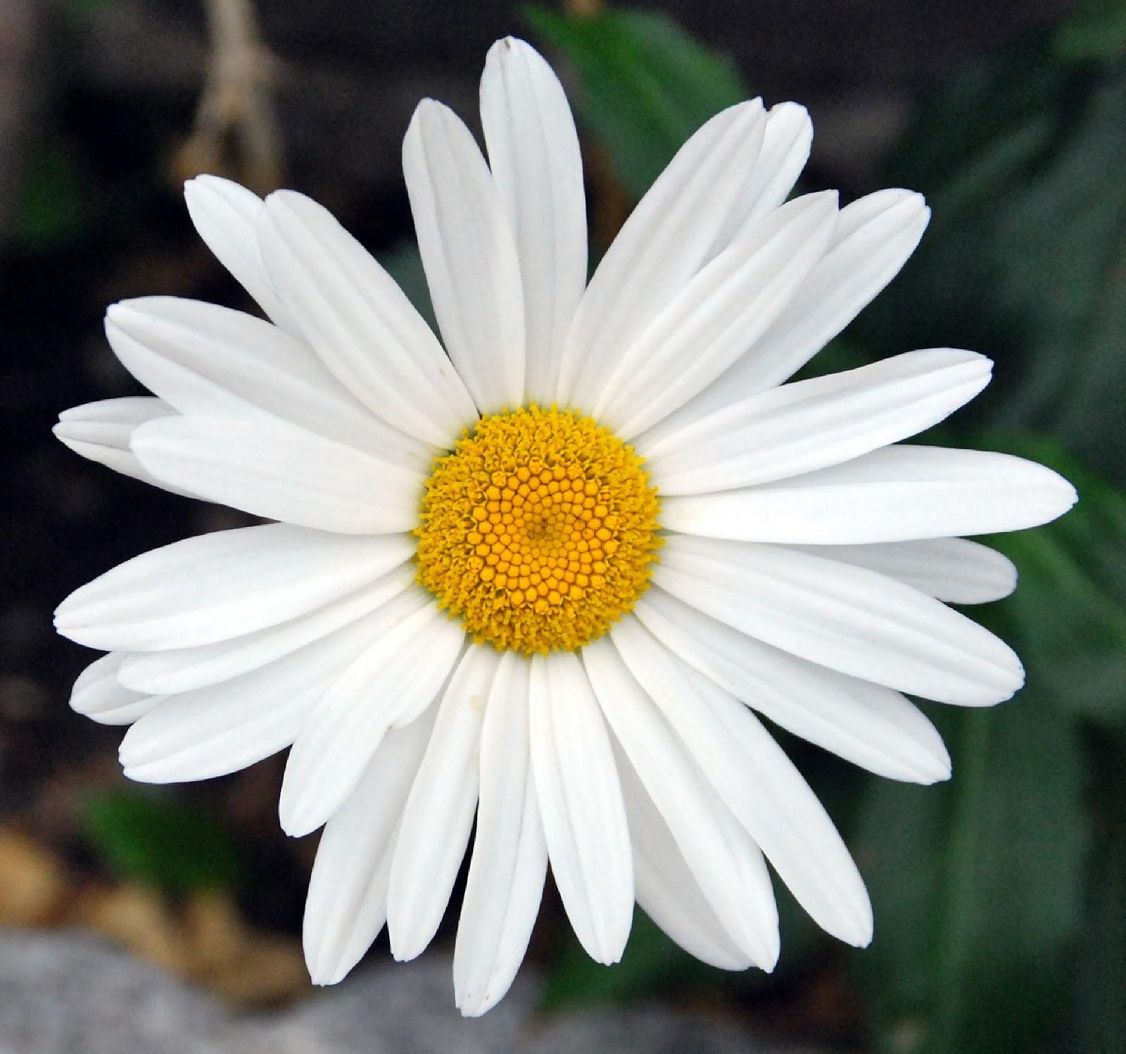Image Gallery margaritas flores