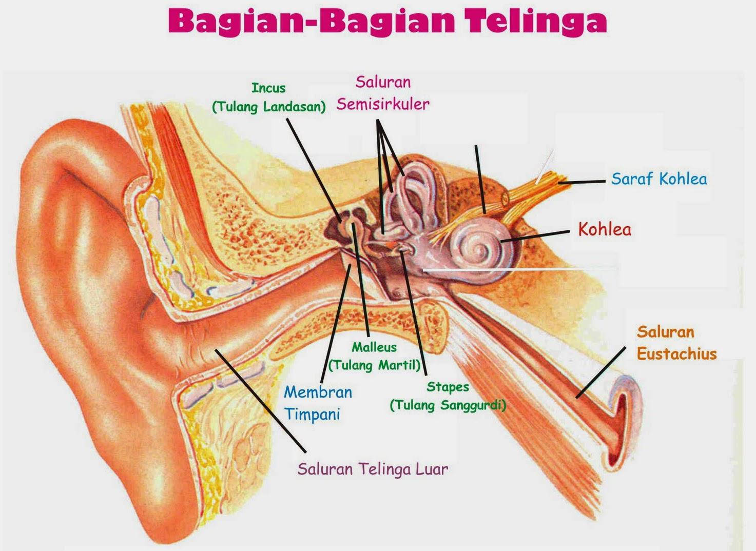 Bagian telinga luar, tengah dan dalam
