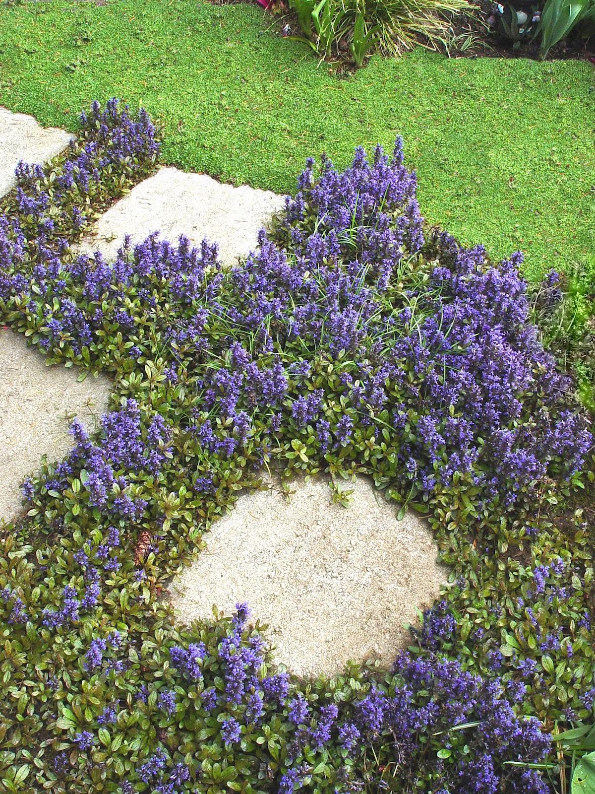 Green Girly Zone 3 Flowering Ground Cover Bugleweed Ajuga