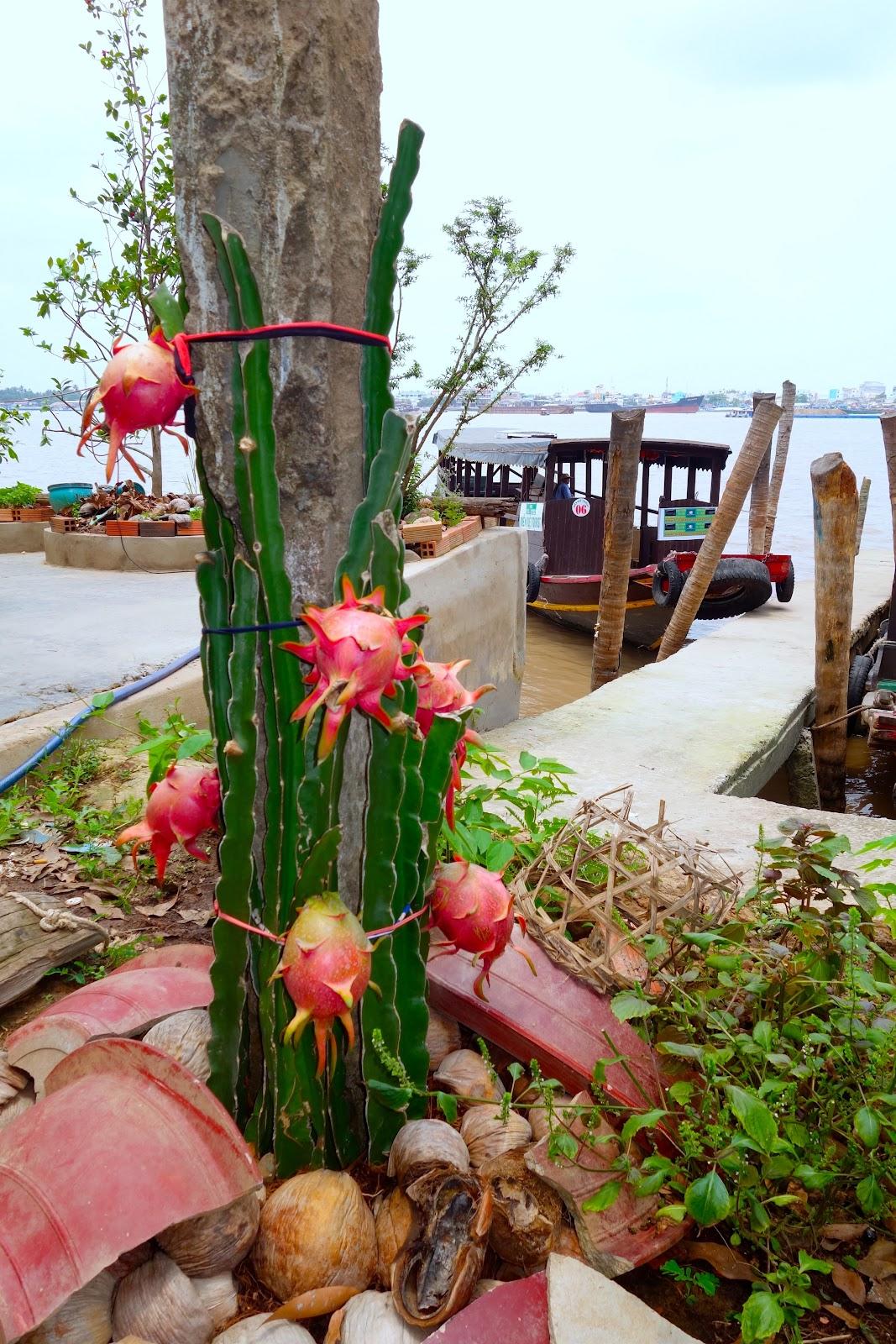 pitaya dragon fruit plants