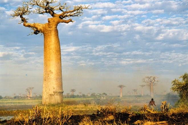 Baobab (Pohon Botol)