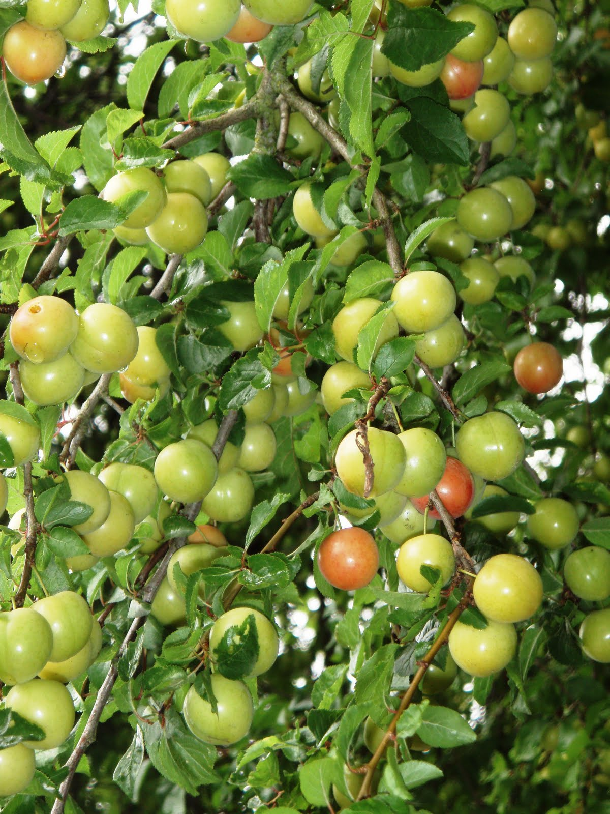 best plum trees for sask and how to grow