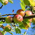 Nova Scotia apple growing goes high-tech with bar code data collection