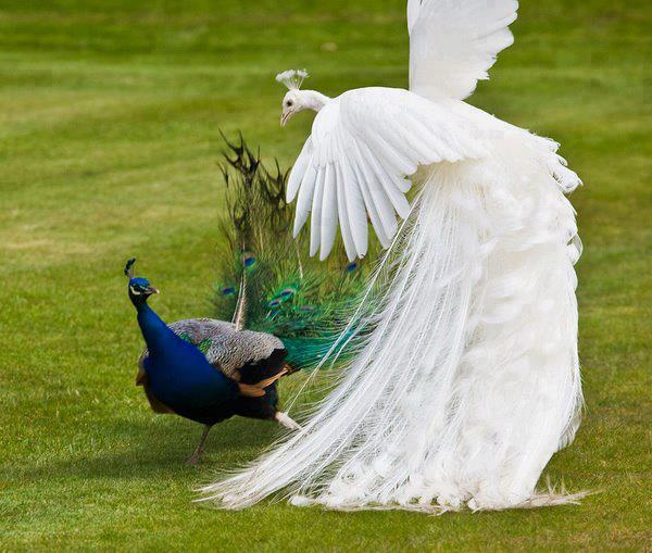 White Peacock fight with other Peacock