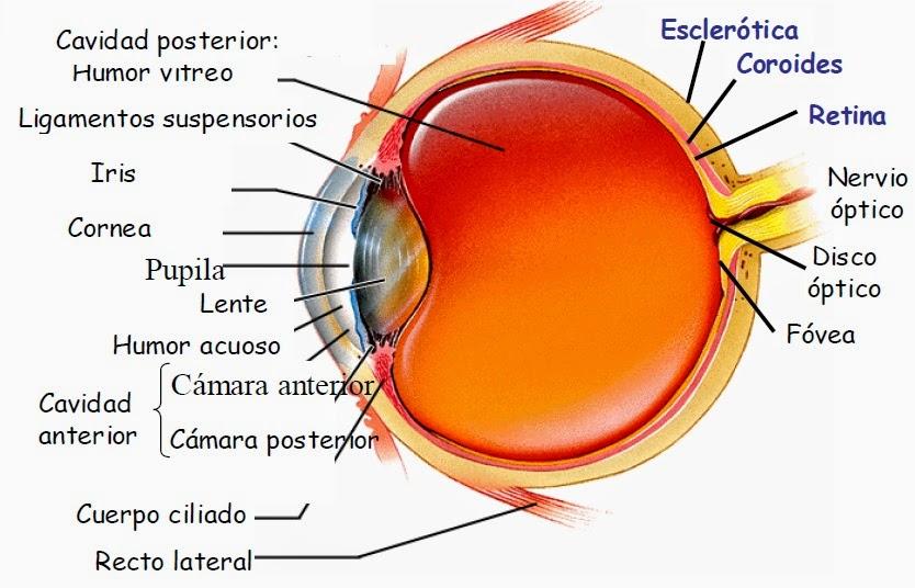 La visión: Partes del ojo