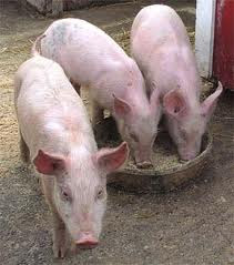 Alimentos alternativos para cerdos