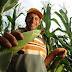 """Agricultores começam a receber o benefício """"Garantia-Safra"""" a partir desta segunda-feira(18)"""