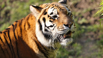 close-up-tiger-look-so-beautiful-terrible
