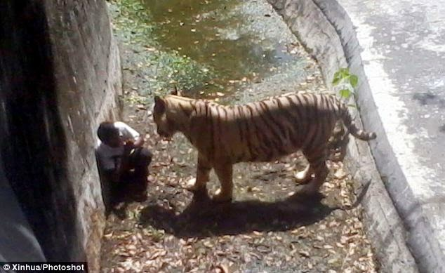 Video Pemuda Di Makan Harimau di New Delhi Zoo India