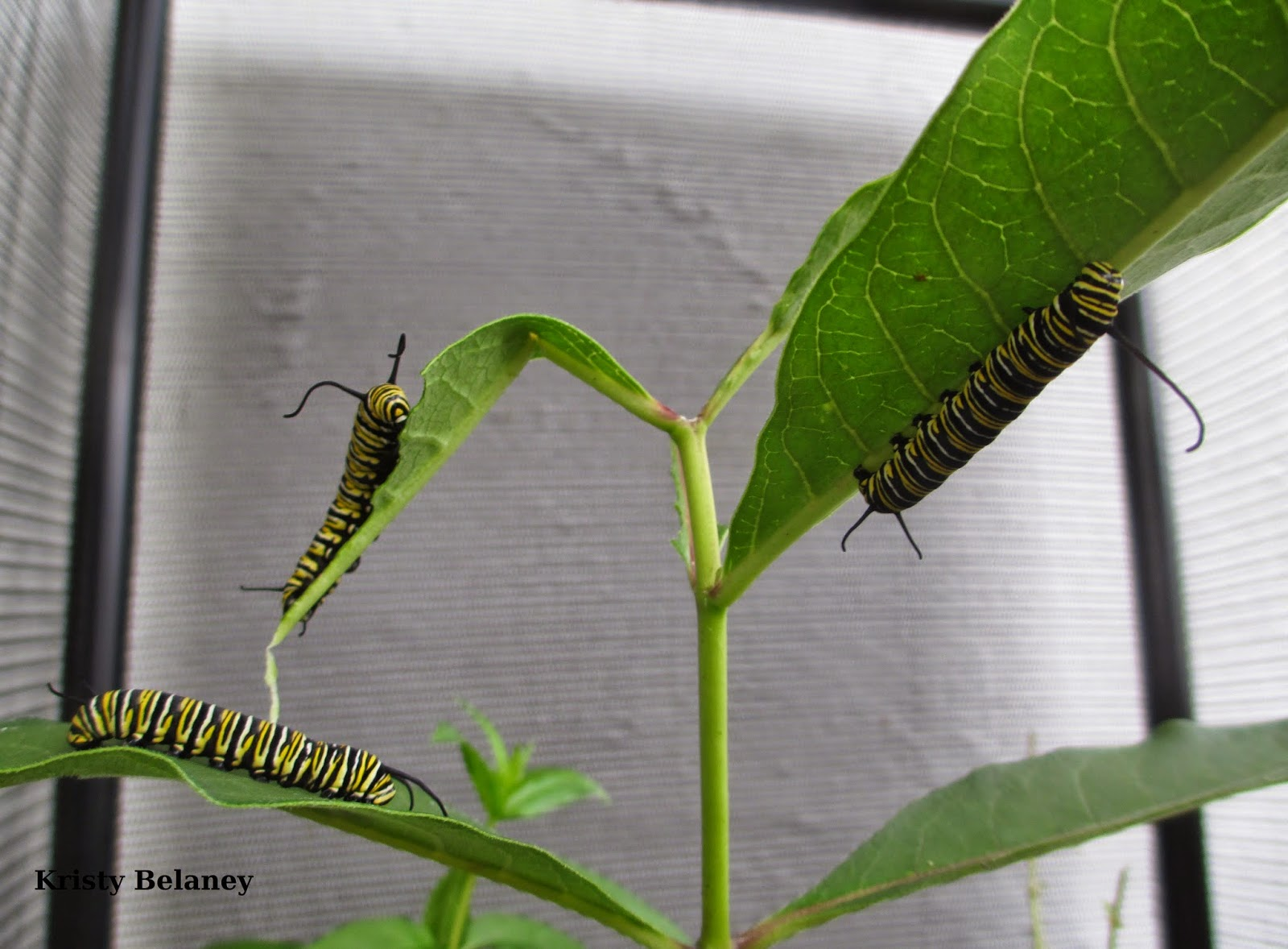Numerous Monarch caterpillars munching on milkweed