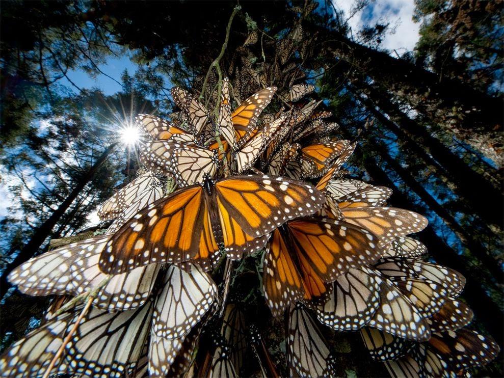 motyle monarchy jako przykład inspiracji