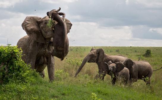 Gajah Belasah Kerbau Hingga Mati
