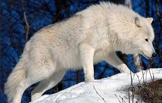 Arctic Wolf pictures