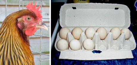 Bruine Dorking kippen leggen witte eieren