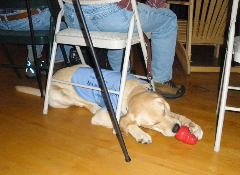 A young yellow lab/golden retriever mix puppy is lying sideways under a folding chair, facing right. He is wearing a baby blue Future Leader Dog jacket. He is intently licking the large end of a red Kong toy, which is filled with frozen kibble and peanut butter. There is a person sitting on the folding chair facing away from the camera, and a person to the left on a chair, and a chair to the right. The puppy is lying on a wooden floor.