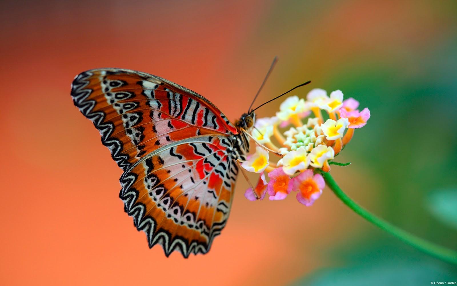 http://4.bp.blogspot.com/-gbU55DPskKE/UI0hfAl-75I/AAAAAAAAAEo/CMGYc-JDg0o/s1600/butterfly_on_flower-wallpaper.jpg