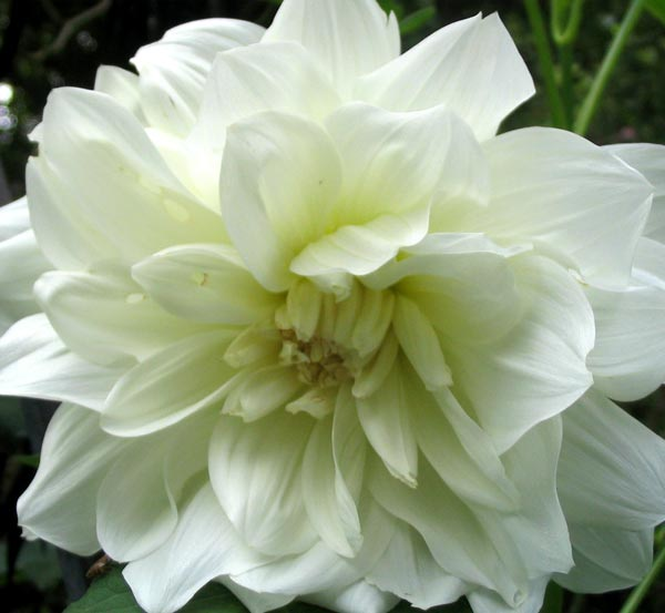 amazing garden the meaning of dahlia flower, Natural flower