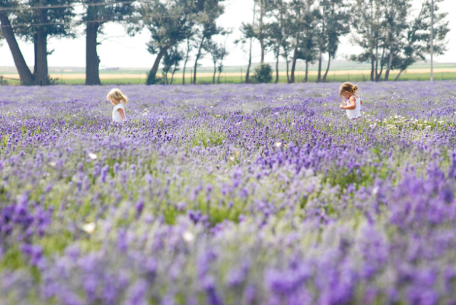 Young Living Lavender Farm