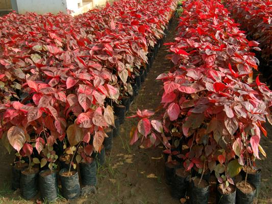 Arte y jardiner a acalifa acalypha familia euforbi ceas - Planta de exterior resistente ...