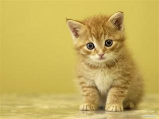 Download Gratis Foto Wallpaper Gambar Kucing Lucu Terbaru