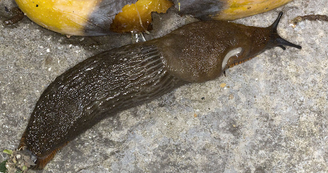 Large Black Slug, Arion ater, going for a chunk of mango in my back garden in Hayes, 7 September 2011.