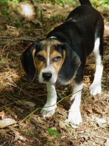 beagle origin country