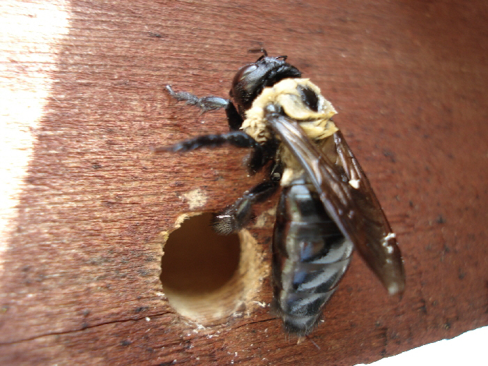 how to drive away carpenter bees