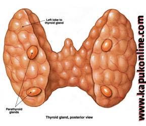 Organ Kelenjar Tiroid