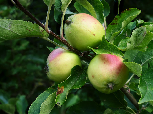 Bunch of three unripe apples on a bough