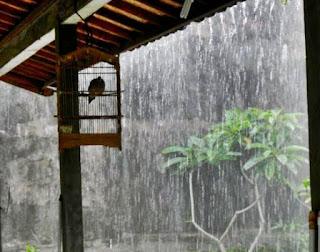 Kiat Perawatan Burung Ocehan di Musim Hujan