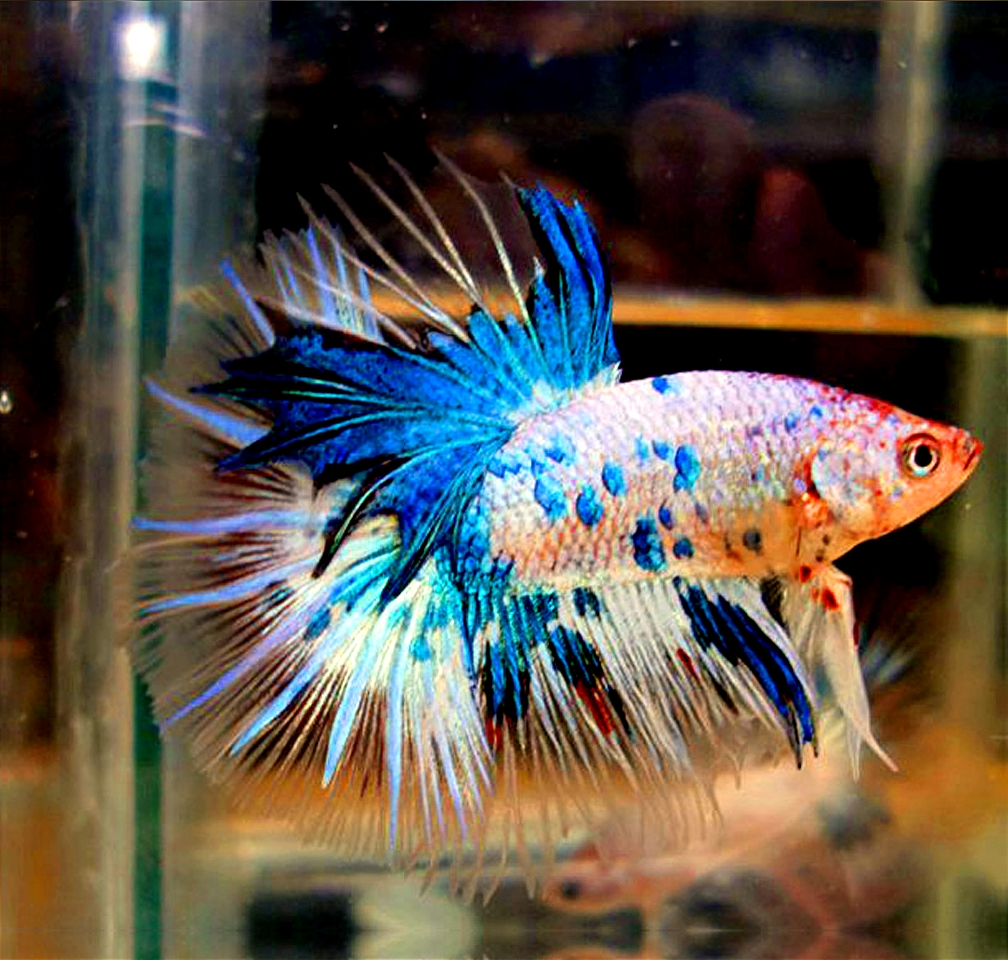 betta splendens lavender