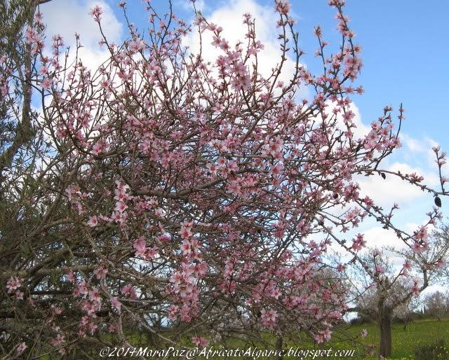 Pink almond tree