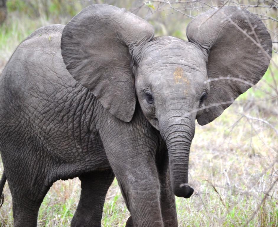bilder elefant english german forums language lab lachs afrikanischer elefant vom aussterben. Black Bedroom Furniture Sets. Home Design Ideas