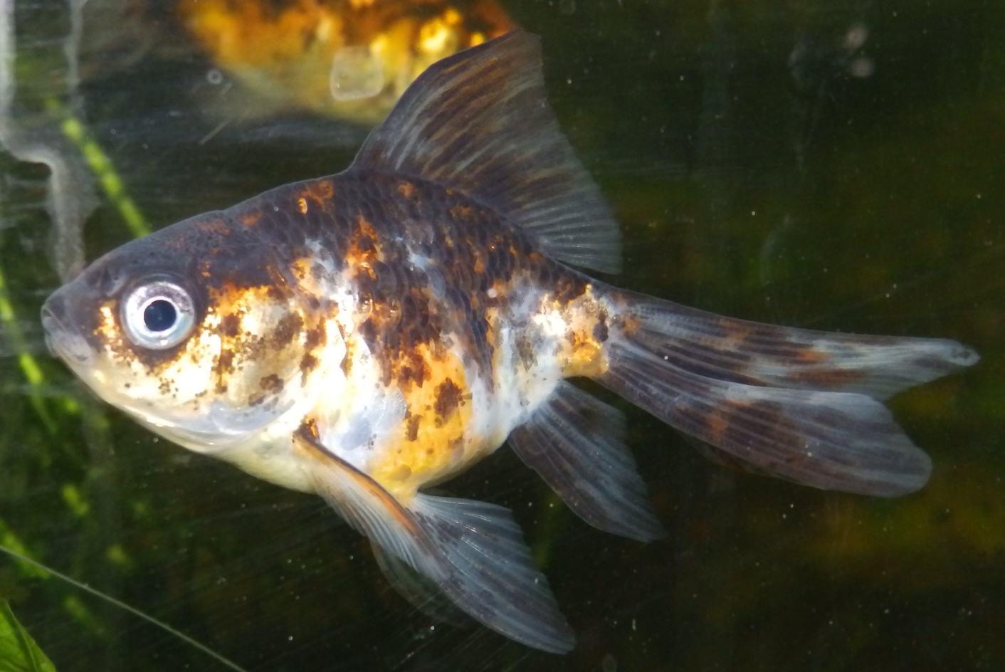 Fantail goldfish - photo#17
