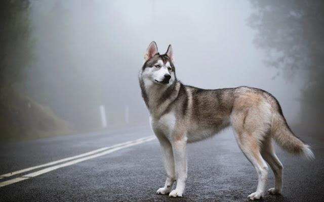 chien husky siberien