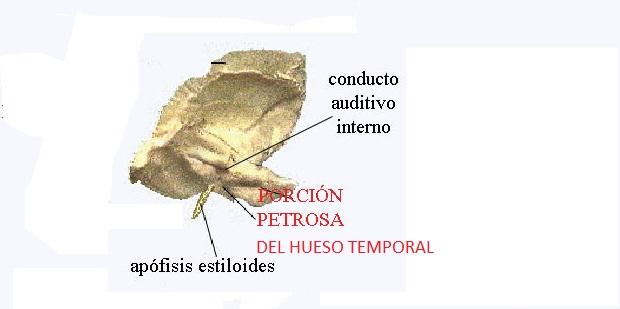 Fosas craneanas: Fosa media del cráneo