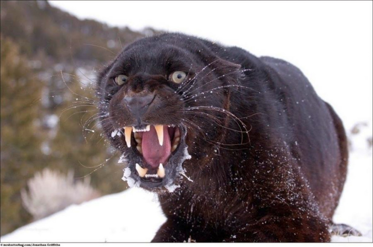 Angry black jaguar - photo#2