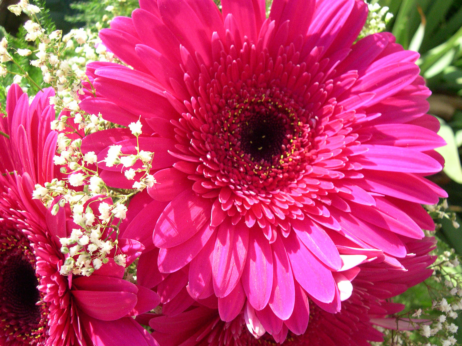 favorite flowers gerbera flowers google search gerberas flower gerberas google beautiful. Black Bedroom Furniture Sets. Home Design Ideas