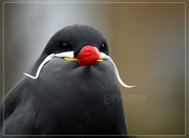 A Beautiful Bird With a Mustache – Inca Tern