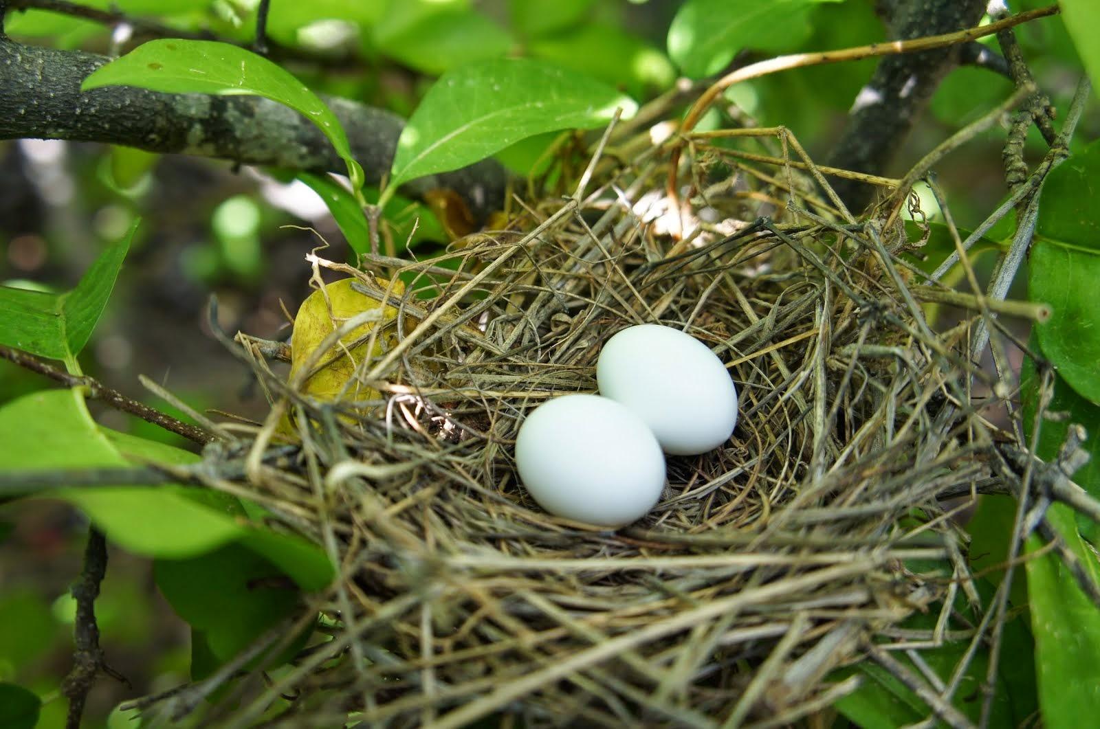 O ninho da rolinha branca